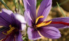 Vertues de la fleur de safran