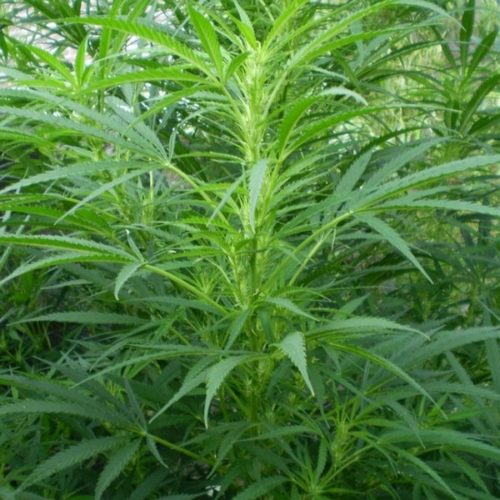 L'huile végétale de chanvre bio est fortement conseillée pour l'eczéma, avec une utilisation régulière, on peut clairement voir une amélioration.