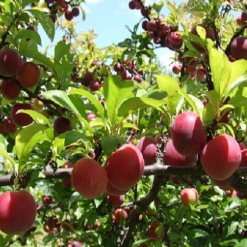 L'huile végétale d'amandon de prune bio peut être utilisé comme un sérum facial,aide pour les gerçures, coups de soleil, l'eczéma et le psoriasis.