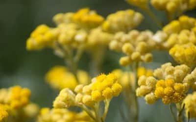 Couperose et huile essentielle bio d'Hélichryse