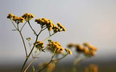 L'hélichryse, le soleil de l'aromathérapie